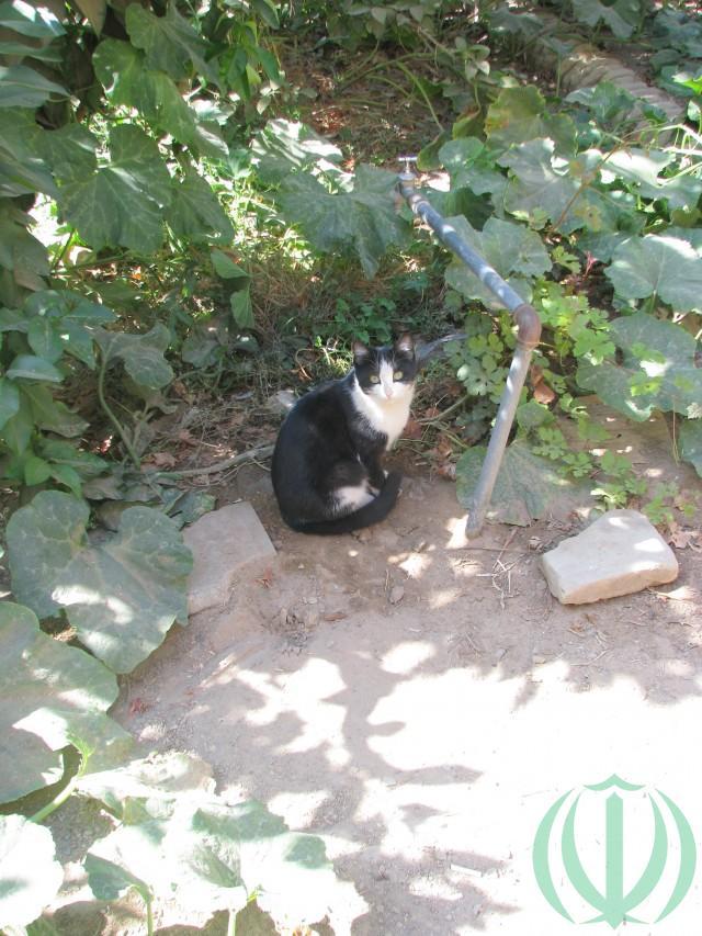 Кот из Язда