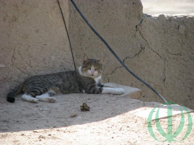 Кот исфаханский