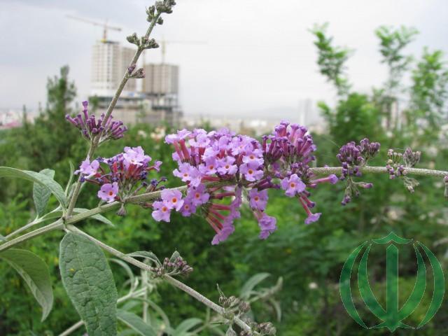 Здесь и далее - Цветы Хорасана