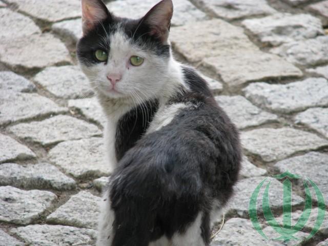 Кот машхадский