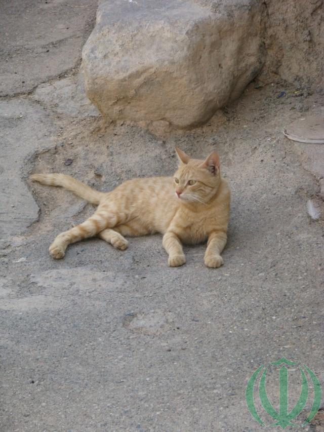 Кот бирджандский