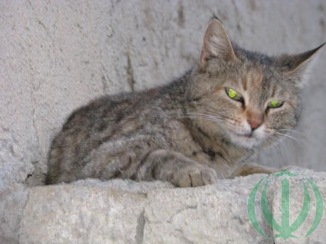 Кот ширванский