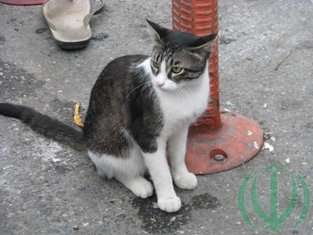 Кот горганский